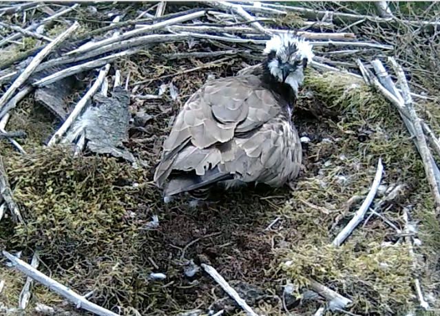37 incubating. And perhaps giving Mrs 37 a bit of an evil eye for all the shouting (c) Forestry Commission England