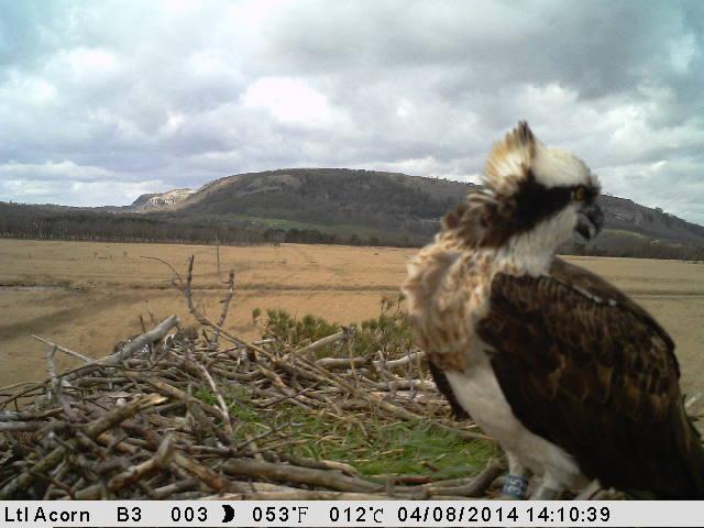 Kielder born Blue 35 in her new home (c) Cumbria Wildlife Trust