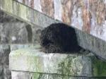 Dipper nest (c) Janis Warren