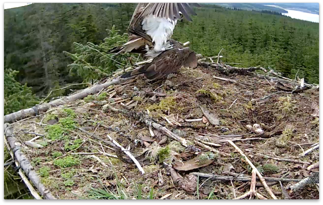 Mating continues on Nest 1 (c) Forestry Commission England