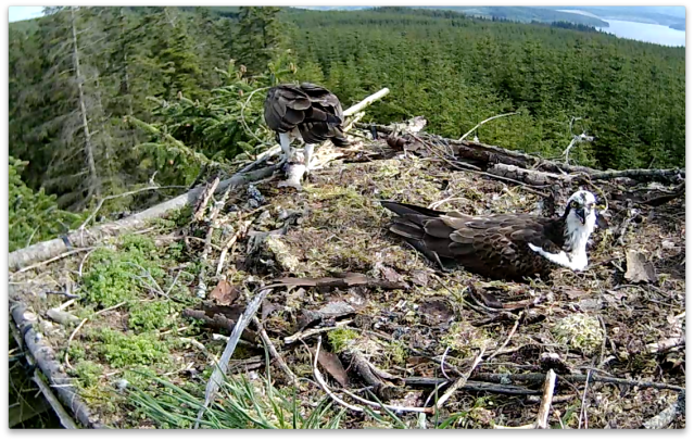 Mrs YA eats on the nest just after the intruder incident (c) Forestry Commission England