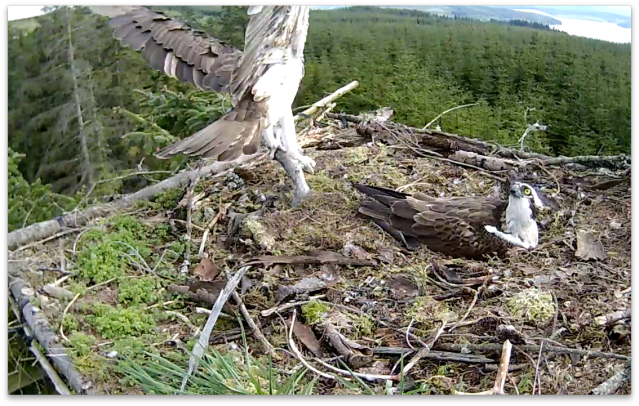 Mrs YA lands with her meal during an anxious time  (c) Forestry Commission England