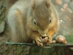 Red squirrel (c) Janis Warren
