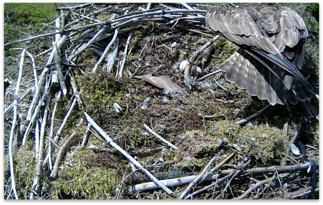 Mrs 37 sweeps the stick across the eggs (c) Forestry Commission England