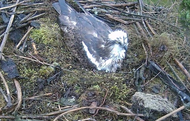 A very wet osprey (c) Forestry Commission England