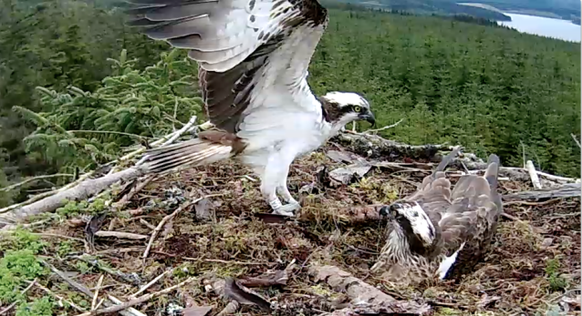 YA comes in and is ready to take over, but Mrs YA stayed on the eggs this time (c) Forestry Commission England