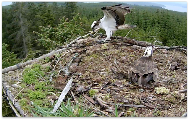 But a break as Mrs YA incubates and he picks up a bit of fish (c) Forestry Commission England