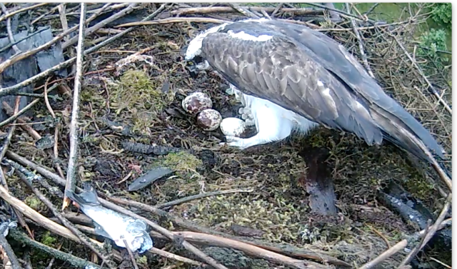 Just 10 minutes before the chick was seen pushing out of the shell (c)  Forestry Commission England