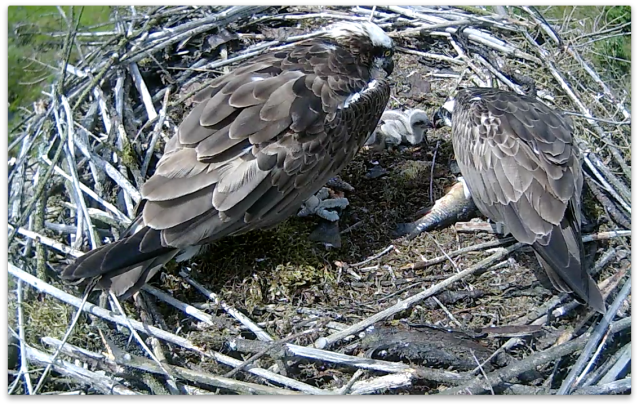 37 is starting to feed the chicks sometimes (c) Forestry Commission England