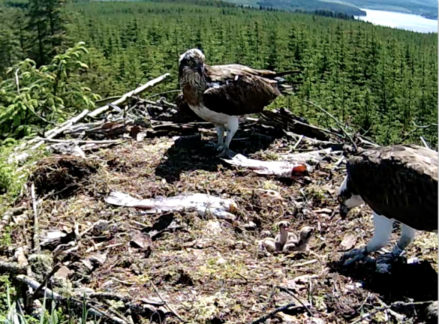 YA has another go at feeding the chicks (c) Forestry Commission England