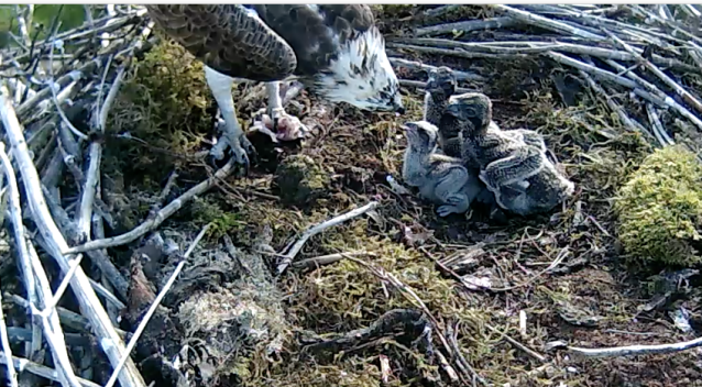 Chick 3 leads the way on Nest 2 also (c) Forestry Commission England