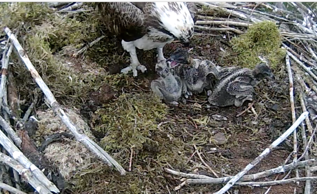 Chick 1 gets a grip on chick 3 (c) Forestry Commission England