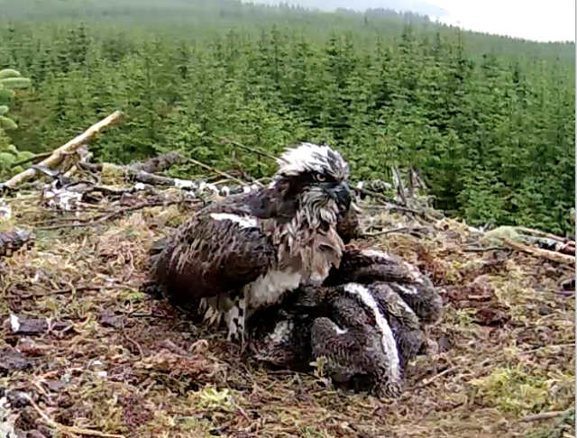 Mrs YA tries to offer shelter to three chunky chicks! (c) Forestry Commission England