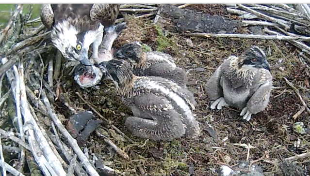 On Tuesday an almost whole fish was eaten in about an hour by the chicks and female (c) Forestry Commission England