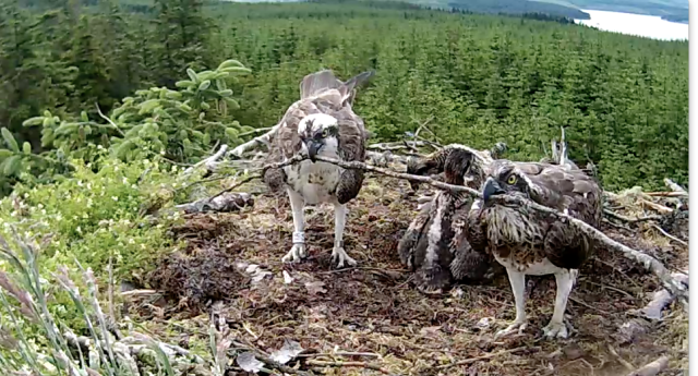 Yet another stick tussle (c) Forestry Commission England