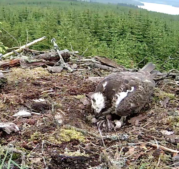 The third chick stands for the first time (c) Forestry Commission England