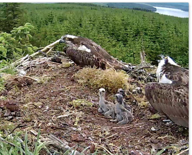 Intruder alert! The chicks watch too (c) Forestry Commission England