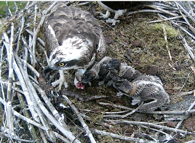 Chick 3 takes advantage of nearness to lunch (c) Forestry Commission England