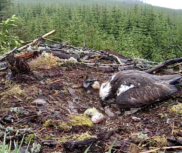 The first chick is clearly visible as it moves around under Mrs YA (c) Forestry Commission England