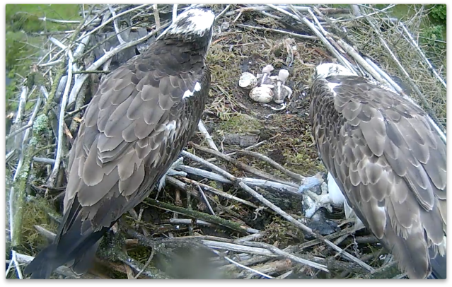 The two chicks seem to get on well immediately, wing on shoulder! (c) Forestry Commission England