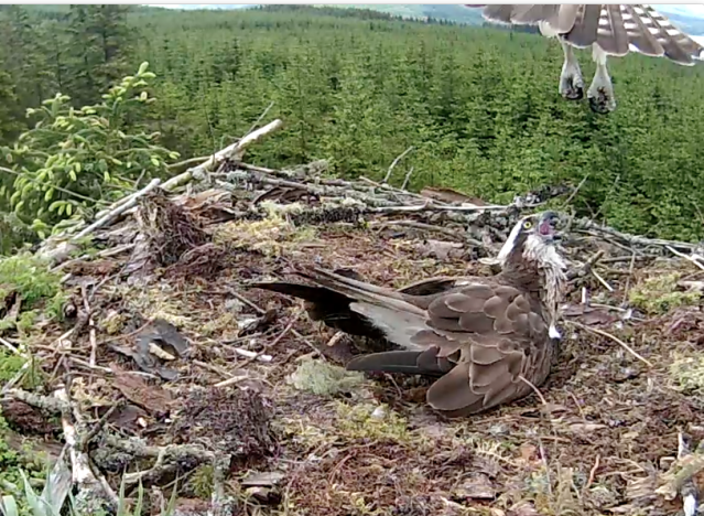 An intruder hovers over Nest 1 to Mrs YA's intense displeasure (c) Forestry Commission England