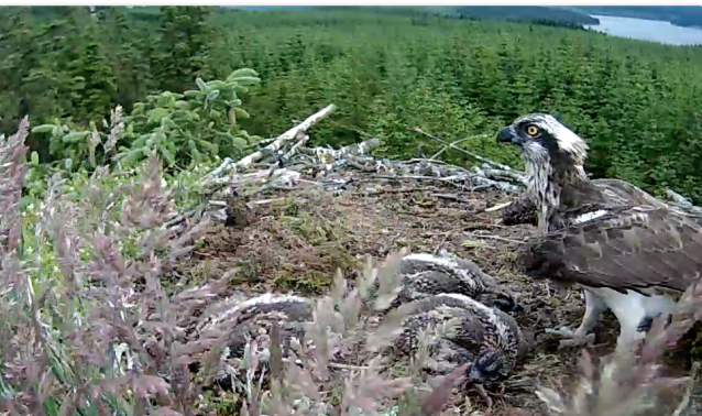 The first glimpse of the intruder's legs at the top of the screen. (c) Forestry Commission England