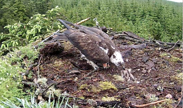 But then it is chick 2's turn (c) Forestry Commission England