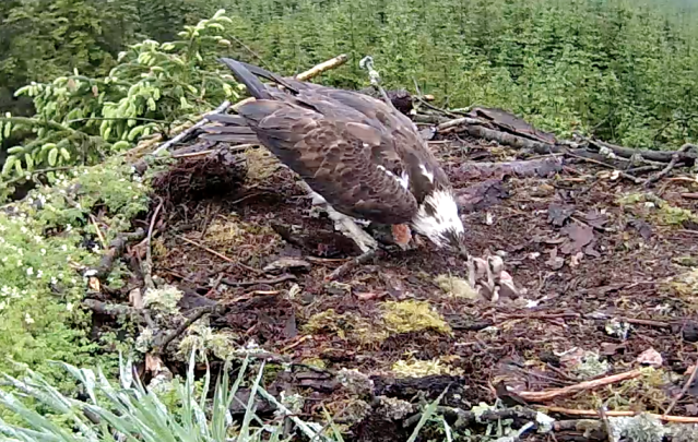 Chick 1 gets all the food (c) Forestry Commission England
