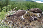 YA feeds a chick from the noon catch, Mrs YA does the same from the earlier fish (c) Forestry Commission England