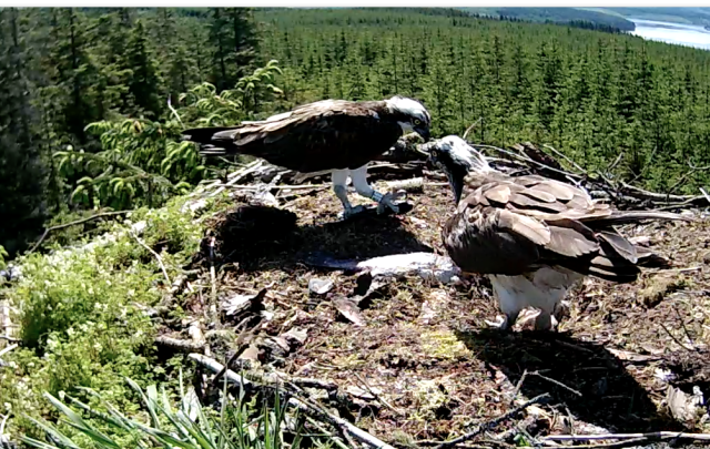 There are two fish already but YA lands with a live brownie! (c) Forestry Commission England