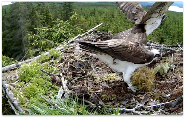 One of the changeovers witnessed by Osprey Watch (c) Forestry Commission England