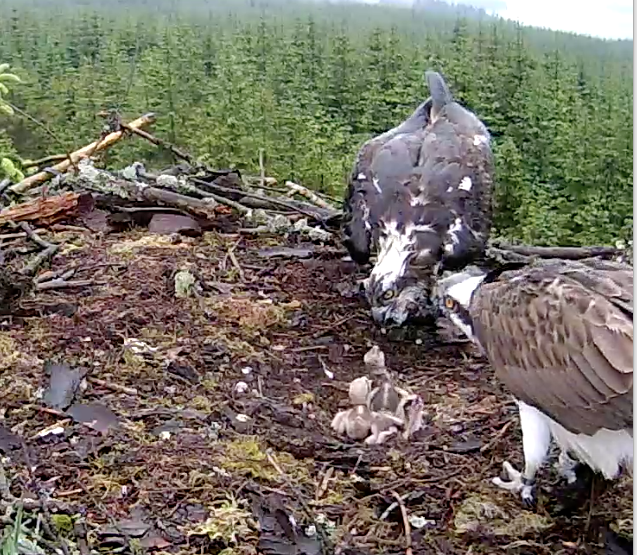 A feed in the rain at 16.50 (c) Forestry Commission England