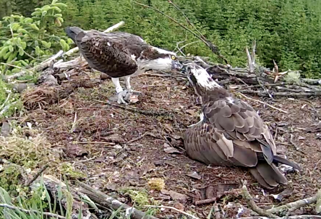 YA feeds the female whilst he is having his own meal (c) Forestry Commission England