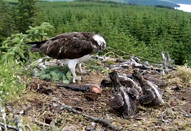 Chick 2 tries to eat without help from mum (c) Forestry commission England