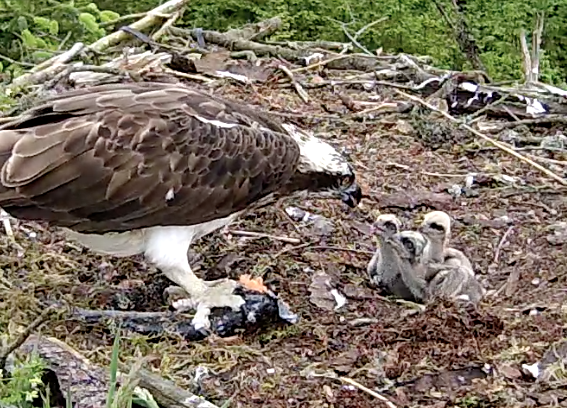 The chick nearest the camera showing clear signs of phase 2! (c) Forestry Commission England