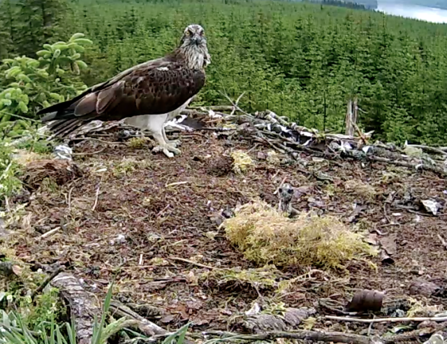 A chick peeps up over the moss (c) Forestry Commission England