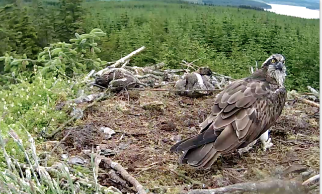 Mrs YA has just placed sticks her side of the chicks, not on the edge (c) Forestry Commission England