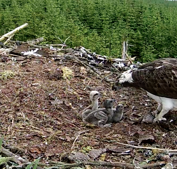 In a morning feed the two oldest chicks are now in their second down phase. (c) Forestry Commission England