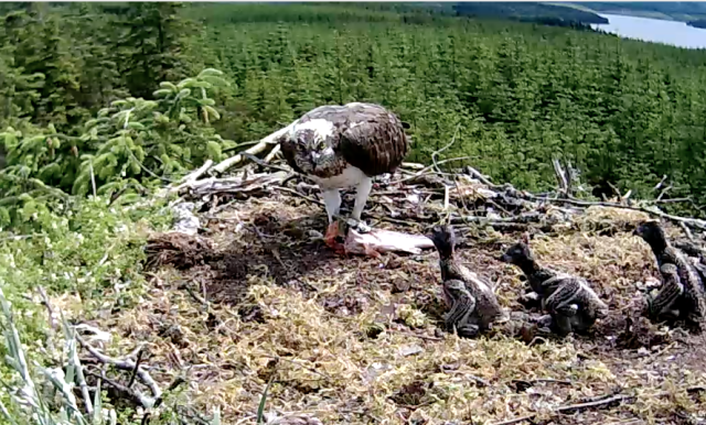 The chicks shuffle across the nest towards the fish (c) Forestry Commission England