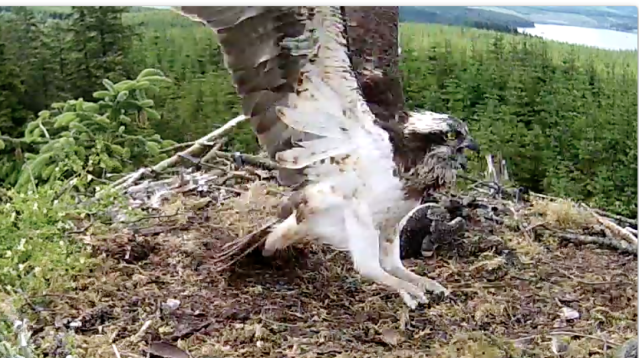 Mrs YA is shouting at an unseen intruder (c) Forestry Commission England