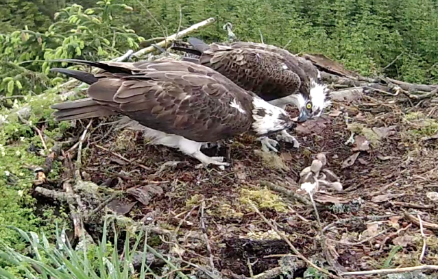 YA has tried to feed the chicks and Mrs YA offers him a morsel to help (c) Forestry Commission England