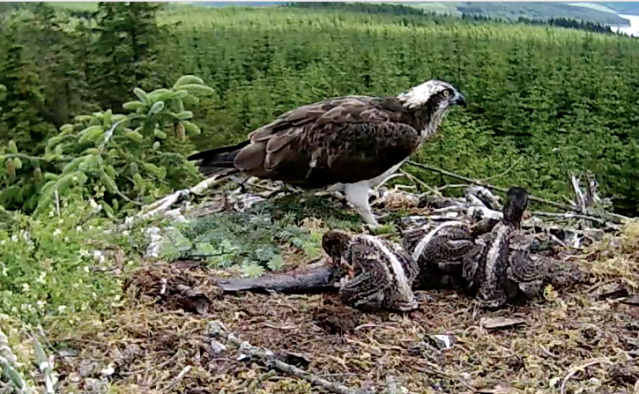 After Mrs YA fed the chicks number 3 decided to carry on (c) Forestry Commission England