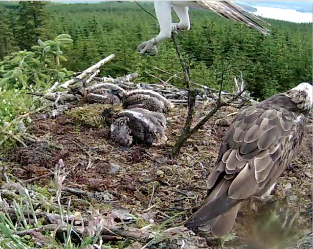 YA brings an unwieldy branch to the nest (c) Forestry Commission England