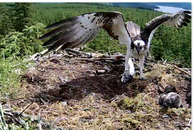 YA lands with a whole fish (c) Forestry Commission England
