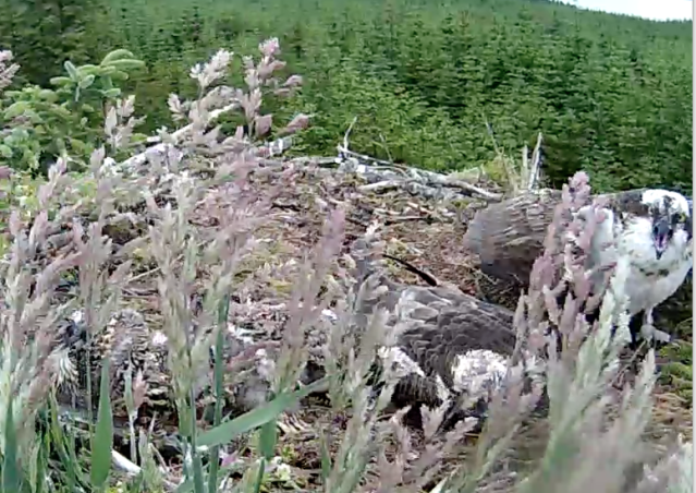 YA shouts at the intruder as Mrs YA keeps down low with the chicks (c) Forestry Commission England