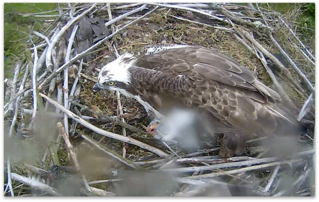 Mrs 37 feeds on the nest edge before taking the fish away. (c) Forestry Commission England