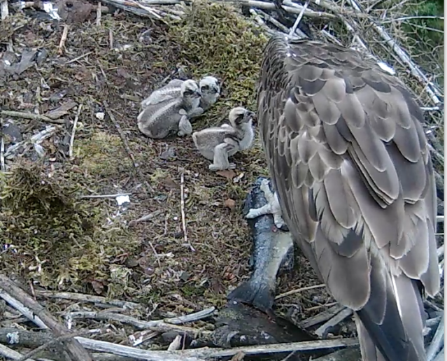 On Nest 2 the 3rd chick makes sure it as at the front! (c) Forestry Commission England