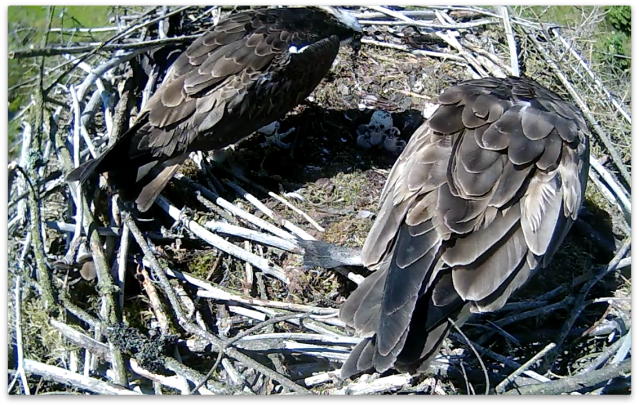 37 provides a handy sunshade as Mrs 37 feeds the chicks (c) Forestry Commission England