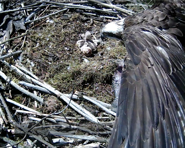 Mrs 37 has a close look at the last egg (c) Forestry Commission England