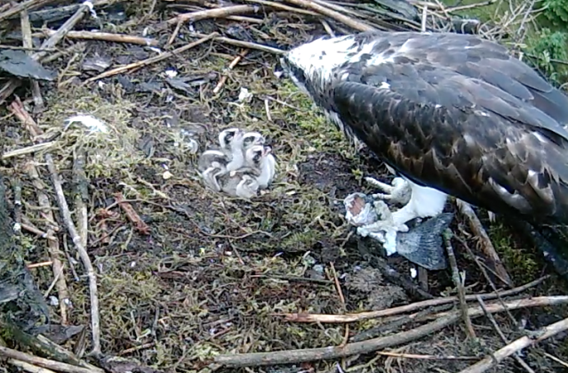 Mrs 37, still very wet, feeds the chicks (c) Forestry Commission England